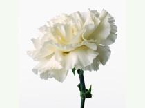 white-Carnations8